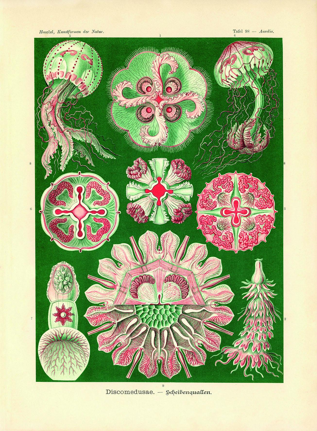 Ernst Haeckel (1834–1919): Discomedusae – Scheibenquallen (aurelia), Lithografie, Tafel 98, Aus: Ernst Haeckel: Kunstformen Der Natur. Leipzig, Wien 1899–1905, Privatsammlung, Bildnachweis: Henrik Elburn Museum La8 Hohesee Haeckel Scheibenquallen